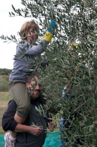 Harvesting Olives in Umbria, Italy